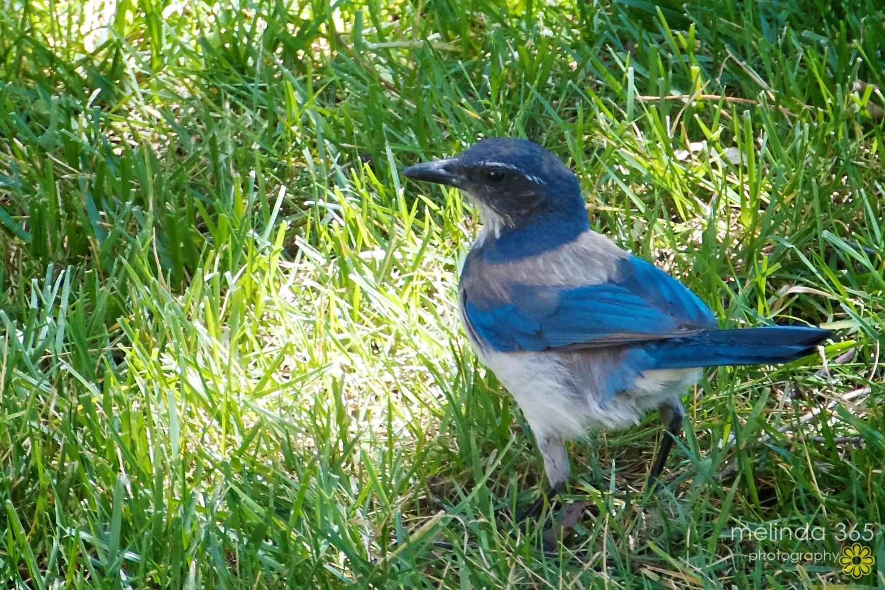 day 140 backyard birdwatching melinda anderson photography
