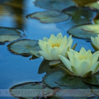 Day 207- Water Lilies