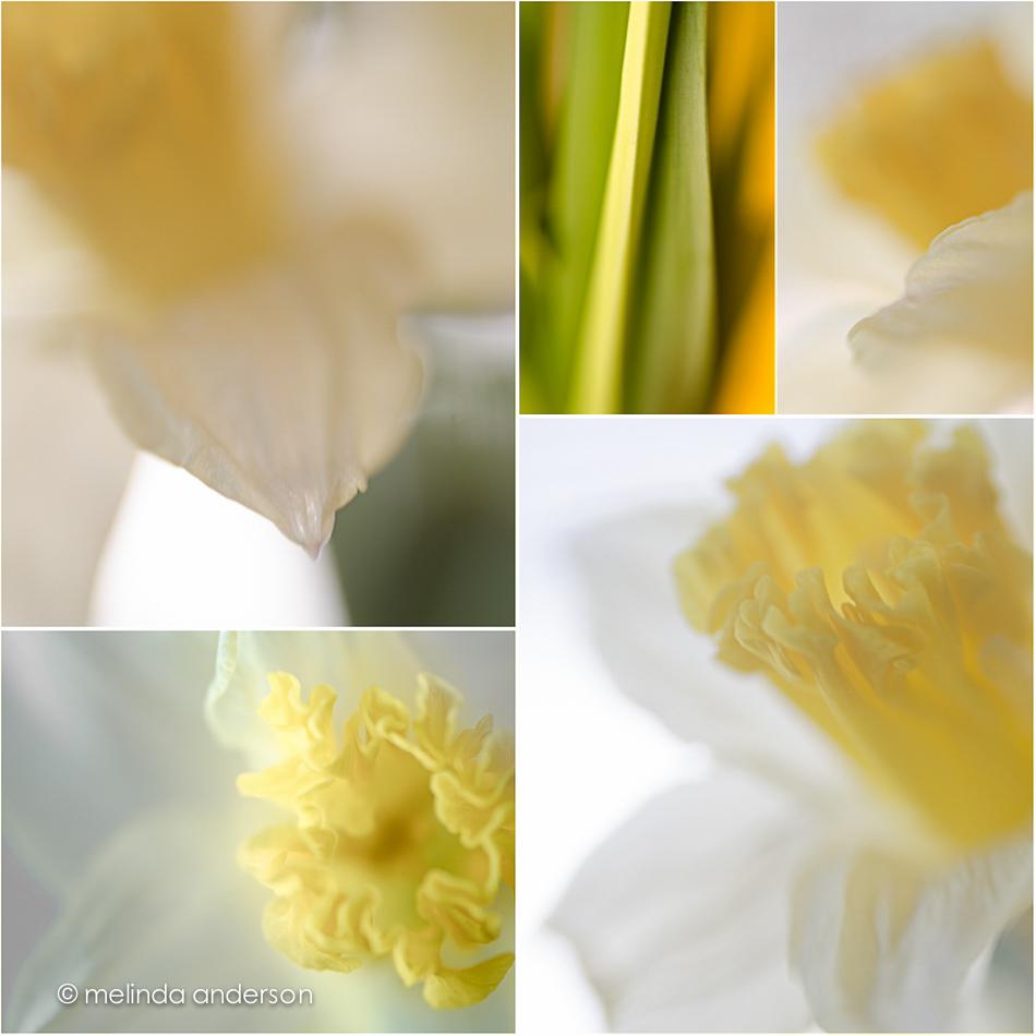 daffodillayout