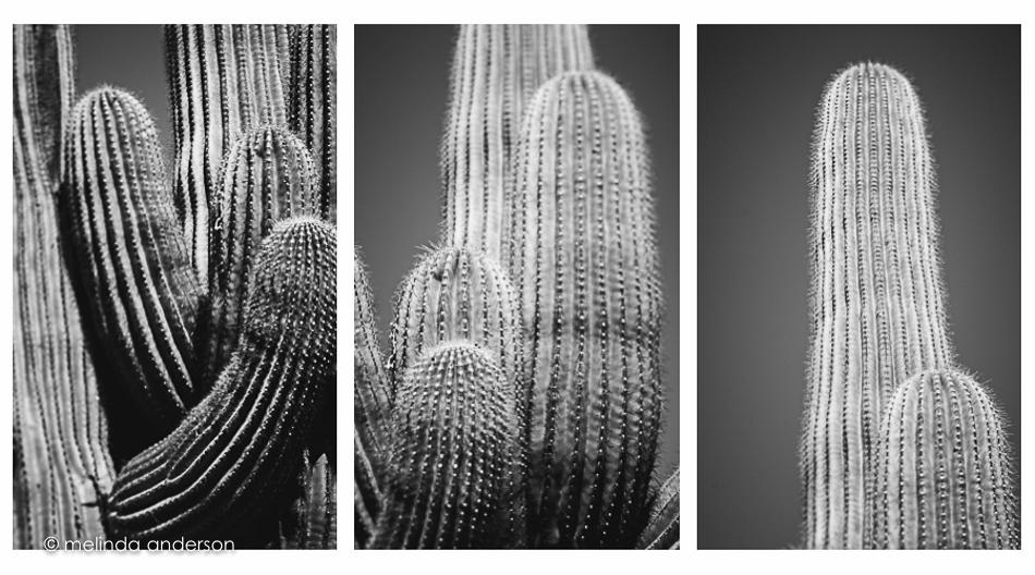 cactus_trio