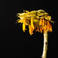 Sunflower Decay