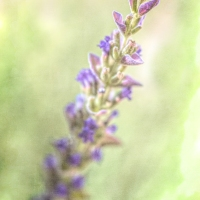 Lensbaby Lavender