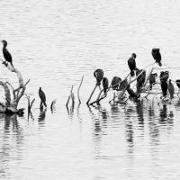 Cormorant Tableau